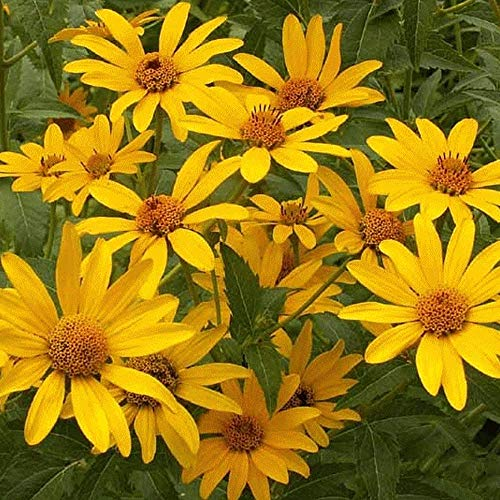 Early Sunflower (Heliopsis helianthoides) 250mg Seeds for Planting, Non GMO, Heirloom, Open Pollinated, American Native Wildflower Perennial, Eastern Ox-Eye, Heliopsis, False Sunflower