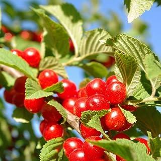 ユスラウメの苗木 赤実【品種で選べる果樹苗木 2年生 接木苗 15cmポット 平均樹高:60cm/1個】(ポット植えなのでほぼ年中植付け可能)桜の季節に白~ピンク色の花が咲き、6月頃に実が楽しめます! 酸味が少なくほんのり甘い実は、サクランボに...