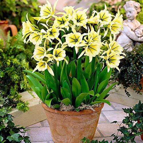 3x Hymenocallis'Sulphur Queen'   Gelbe...