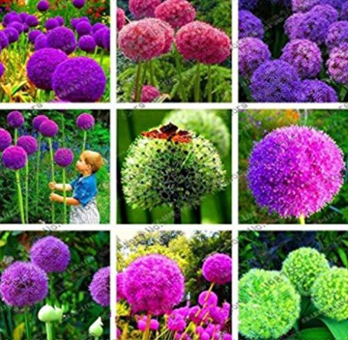 Acecoree Samen- Riesen Allium Giganteum Zierlauch Mischung winterhart mehrjährig Blumensamen Raritäten Zierlauch Duft-Allium Zierpflanzen für Balkon/Garten