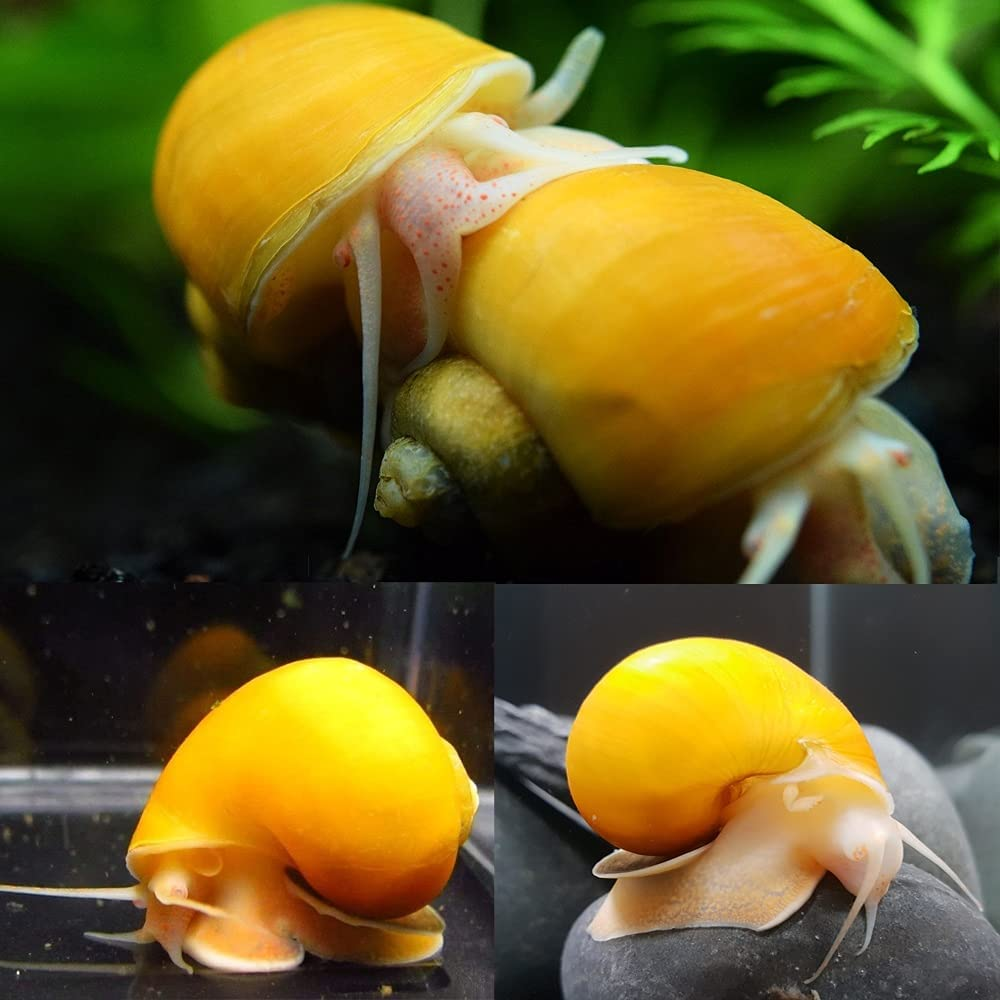 Super popular specialty 1 year warranty store 3 Gold Snails Mystery