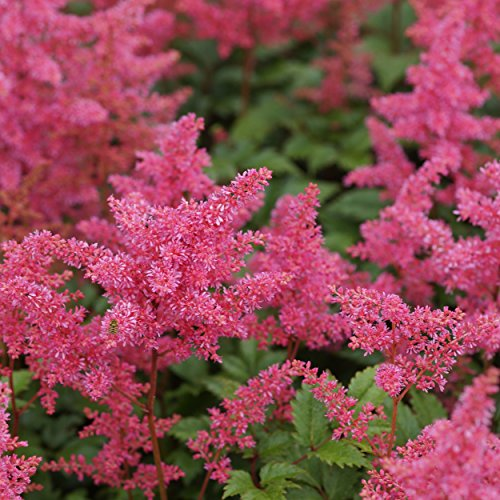 Blumixx Stauden Astilbe Japonica-Hybr. 'Bremen' - Prachtspiere, im 0,5 Liter Topf, dunkel-rosa blühend