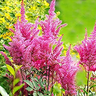 Flowers Perennial Garden Flower Seeds Dwaft Hot Sale Rare Pink Astilbe Chinensis Balcony Garden Patio Potted Plants Chinese Astilbe 120PCS