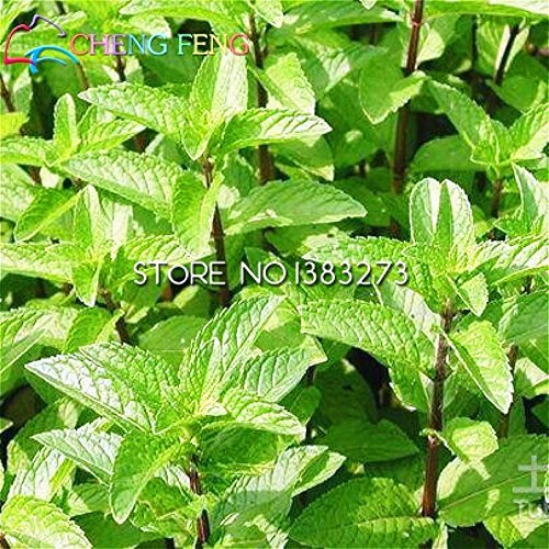 100 Menthe Mint graines comestibles semences cataire Balcon Herb Garden Bonsai pour la plantation Nepeta Cataria Floraison Pot Pet meilleur cadeau