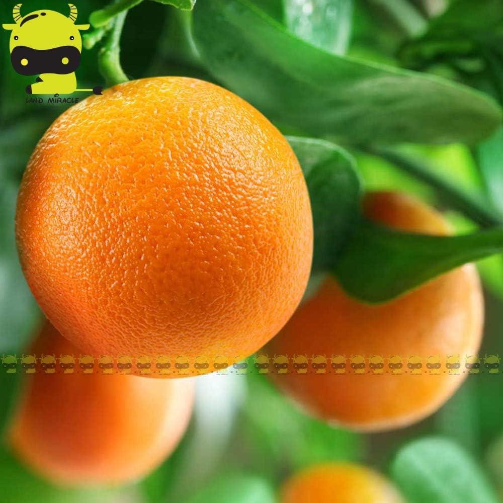 Go Garden39; Washington Navel39; Orange Seeds 10 2021 Pack De New York Mall