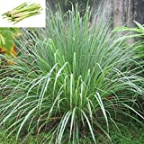 Ameritree 250 Lemongrass Seeds – East Indian Cymbopogon Flexuosus Pack USA Non-GMO All Natural Herb Seeds