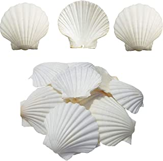 Scallop Shell Natural Seashell from Sea Beach for DIY Craft Decor 1 Box (25 pcs)
