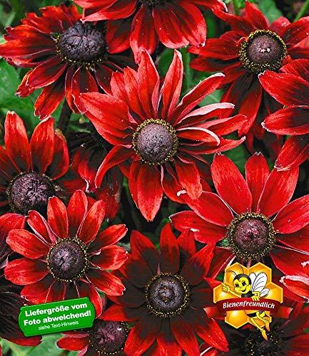 BALDUR-Garten Sonnenhut Rudbeckia 'Cherry Brandy', 3 Pflanzen winterhart mehrjährige Gartenstauden