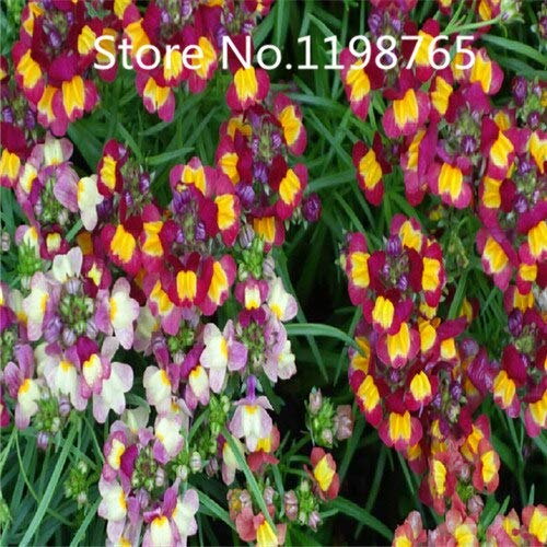 Púrpura: ¡Promoción de precio especial! 100 semillas de