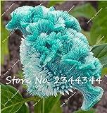 100 pezzi semi blu cresta di gallo, celosia vegetali spicata, semi di fiori bonsai Pure albero blu Cockscomb in vaso per la casa pianta da giardino