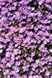 Stunning Purple Ice Plant Lampranthus Flowers Journal: Take Notes, Write Down Memories in this 150 Page Lined Journal