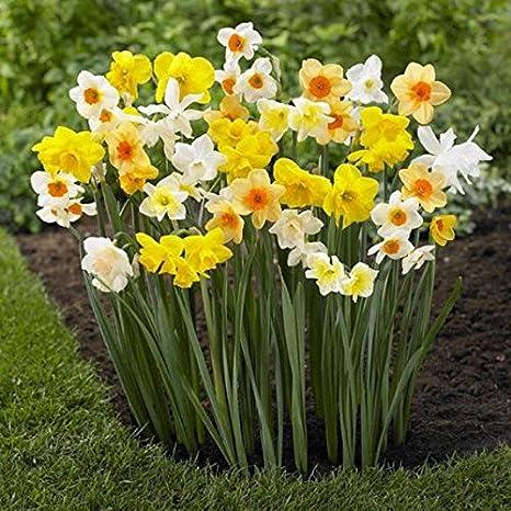 Amazon Com Daffodil Bulbs Trumpet Daffodil Mix 10 Bulbs Narcissus Assorted Long Lasting Patio Lawn Garden