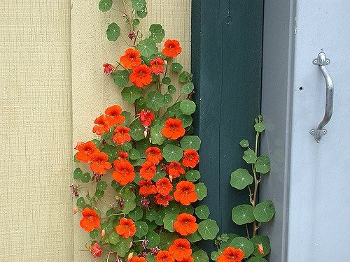 PinkdosePinkdose Blumensamen: Kapuzinerkresse Blumensamen Pflanzen Blumen Kletterpflanze Blütenpflanzen - Luftreinigende Pflanzensamen (19 Pakete) Gartenpflanze S