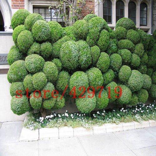 50 pcs boules de genièvre graines d'arbres de fleurs en pot purifient l'air absorbent les gaz nocifs 2015 nouvelles semences pour la maison jardin plantation