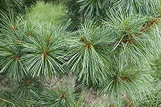 Best korean pine nut tree Reviews
