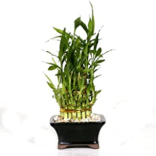 Brussel's Live Pyramid Bamboo Indoor Bonsai Tree - 4 Years Old; 13