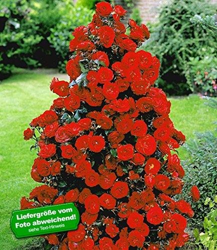 BALDUR Garten Rote Duft-Strauchrosen, 1 Pflanze winterhart