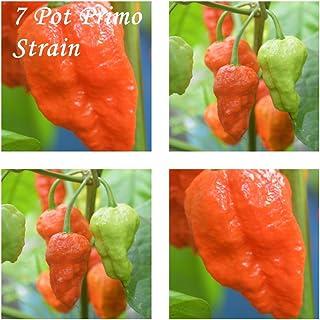 7 Pot Primo Strain -20 Chili Samen - Schärfegrad : 10 !