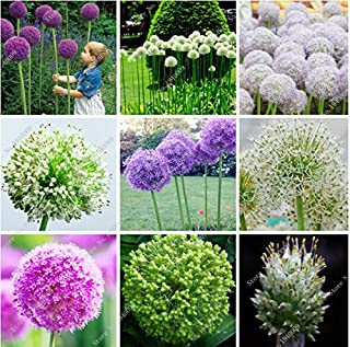 Best giant allium flowers for sale Reviews
