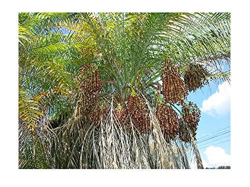 Zwergdattelpalme Phoenix roebelenii Pflanze 5-10cm Zwerg-Dattelpalme Palme
