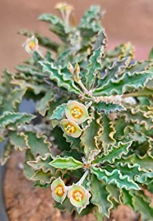 Euphorbia Decaryi Spirosticha Exotic Rạre Madagascar Cactus Cacti SéẹD 10 SéẹDs Seeds_Easy_Grow