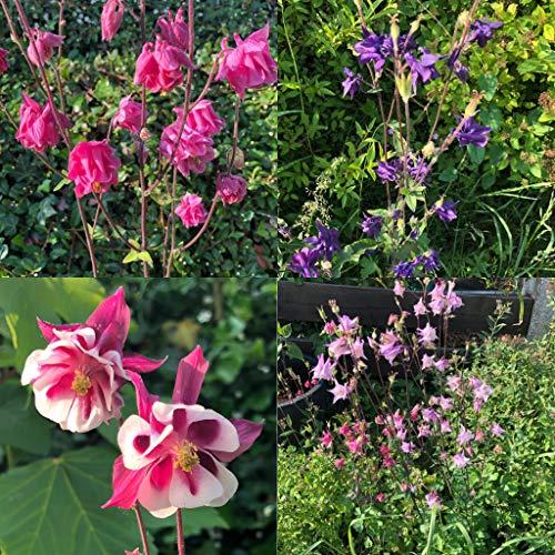 Akelei Mischung 100+ Samen (Aquilegia) **Viele Verschieden Blüh Farben** Bienenweide, Blumenwiese
