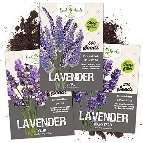 Seed Needs, Lavender Herb Seed Packet Collection (3 Varieties of Lavender) Open Pollinated Seeds