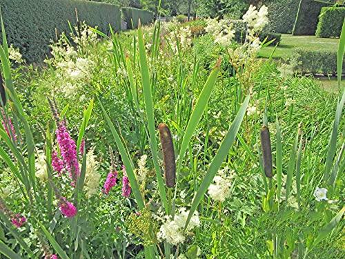 ROHRKOLBEN schmalblättriger - Typha angustifolia - Wasserpflanze Winterhart für Ihren Teich - H2O-Pflanze