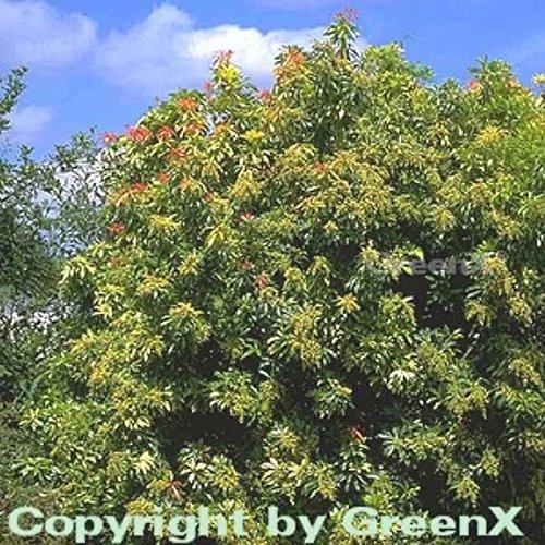 Schattenglöckchen Lavendelheide Forest Flame 40-50cm - Pieris japonica