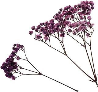 Plantas Prensas Flores Paniculata Secas Reales Flores