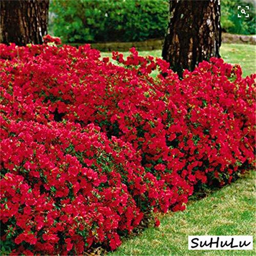HONIC 100 pièces/Sac azalées Bonsai, rhododendrons azalées, azalée Fleur Bonsaï Jardin Bricolage Plantules Maison Plante Facile à cultiver: 4