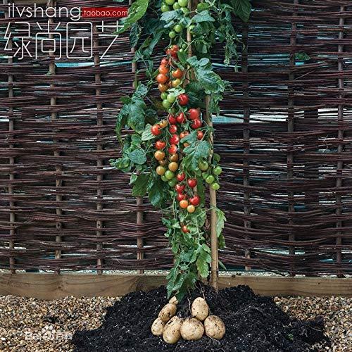 Pinkdose Pan American Tomate Bonsai Tomtato über Tomaten unter der Kartoffel 200pcs