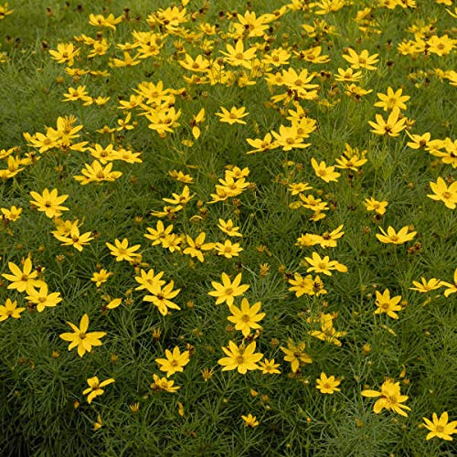 deer don't like this plant Coreopsis ver. 'Zagreb' - Threadleaf Coreopsis - Live Perennial