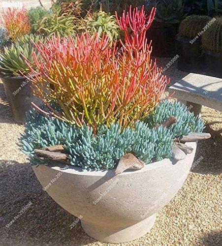 170pcs/bag esotiche semi Euphorbia Tirucalli Juicy Bonsai in vaso succulente Euphorbiaceae Pianta per Garden Decor