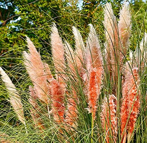 Pampas Grass Plant Seeds 100+ Flower Bonsai Seeds for Home Garden Decoration (Pink)