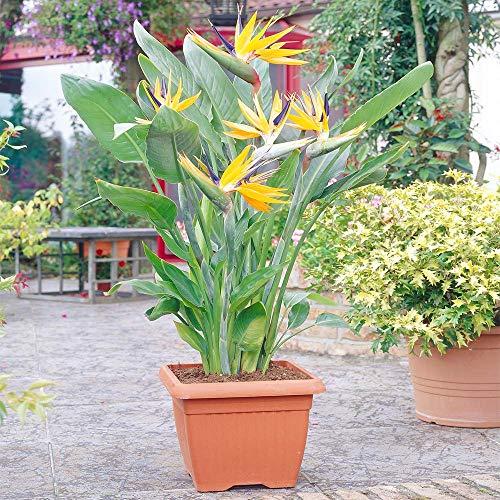 Strelitzia Indoor House Plant - Bird of...