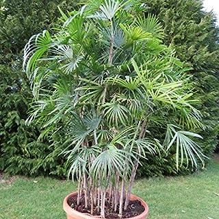 Semillas de Palmera de Bambu (Rhapis Excelsa)