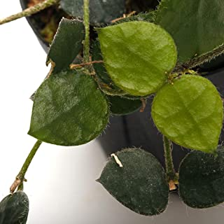 "Dischidia sp."" Cameron Highlands"" [ ディスキディア sp."" キャメロンハイランド"" ] 【 PN190502-10 】"