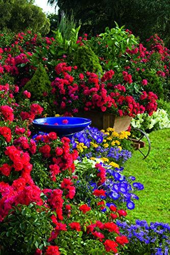 Scarlet Flower Carpet Rose, red flowering rose in 2 Gallon pot