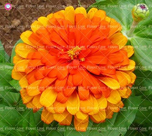50PCS Garden Bonsai Graines Zinnia Multicolor Chrysanthème Graines Graines de fleurs belles plantes ornementales culture facile 1