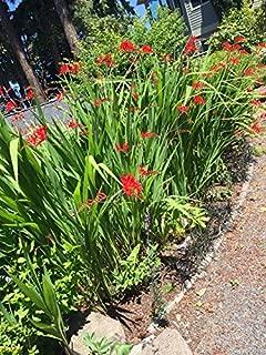 10 Fire Red Crocosmia Lucifer Live Plants (Please Read Product Description)