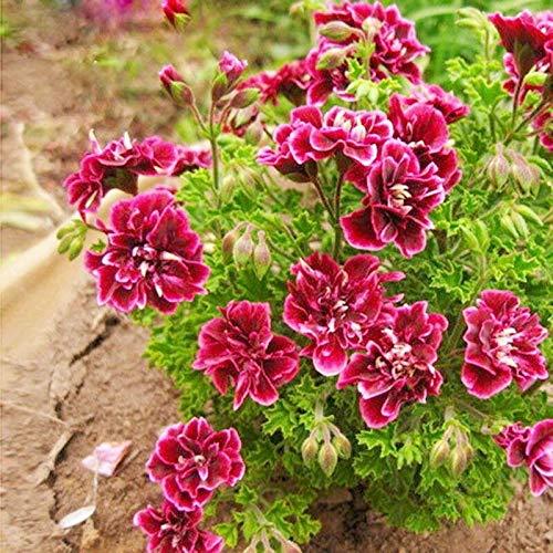 PLAT FIRM GRAINES DE GERMINATION: Gris clair: 20 pièces Lot de géraniums en pot pour balcon Graines de fleurs vivaces Univalve