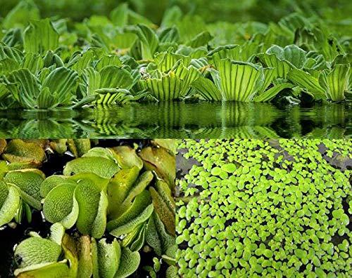 ZAC Wagner Schwimmpflanzen Sortiment A 3 Sorten neu Teichpflanzen Teichpflanze Schwimmpflanzen