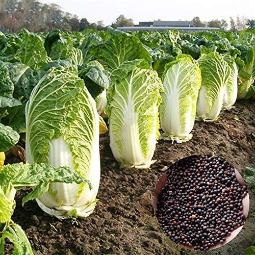 Semillas de col china, 1 bolsa de la col de China Seeds prolíficos Fast Core envolver compactos bulbo Vegetable Seeds nutritivo para el patio
