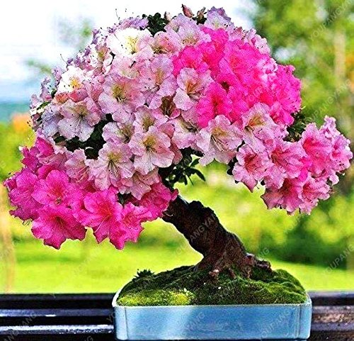 20 graines/paquet de graines de sakura japonais bonsaï ornement graines de cerisier fleurs de cerisier pour la maison et jardin noir