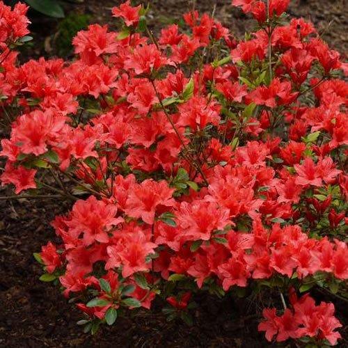 1 X Azalea 'Orange Beauty' Japanese Evergreen Shrub Hardy Plant in Pot