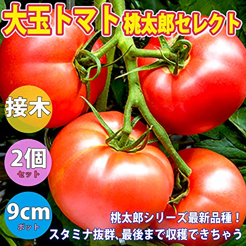 大玉トマト桃太郎
