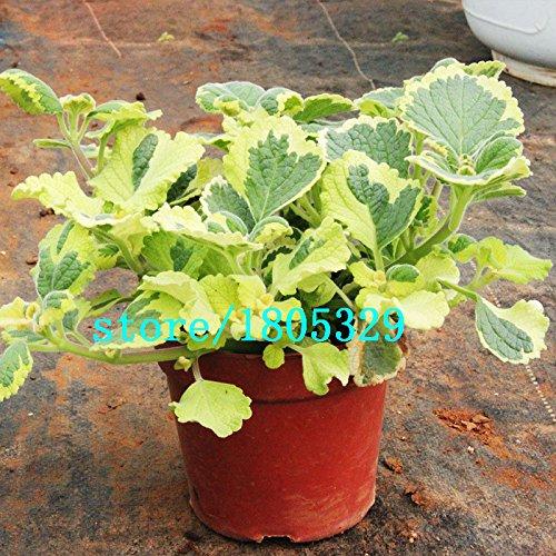 Rare Mosaic Mint Seeds Semences Potagères Semences Balcon Potted Peppermint aromatique des plantes de 200PCS