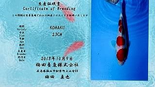 10 Inch Kohaku Imported Japanese Koi Fish