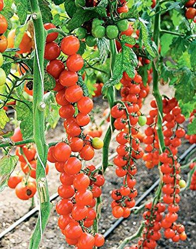 Tomate Riesentraube - sehr ertragreich - 10 Samen